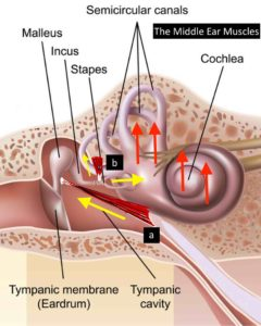 Middle ear muscles and Meniere's disease