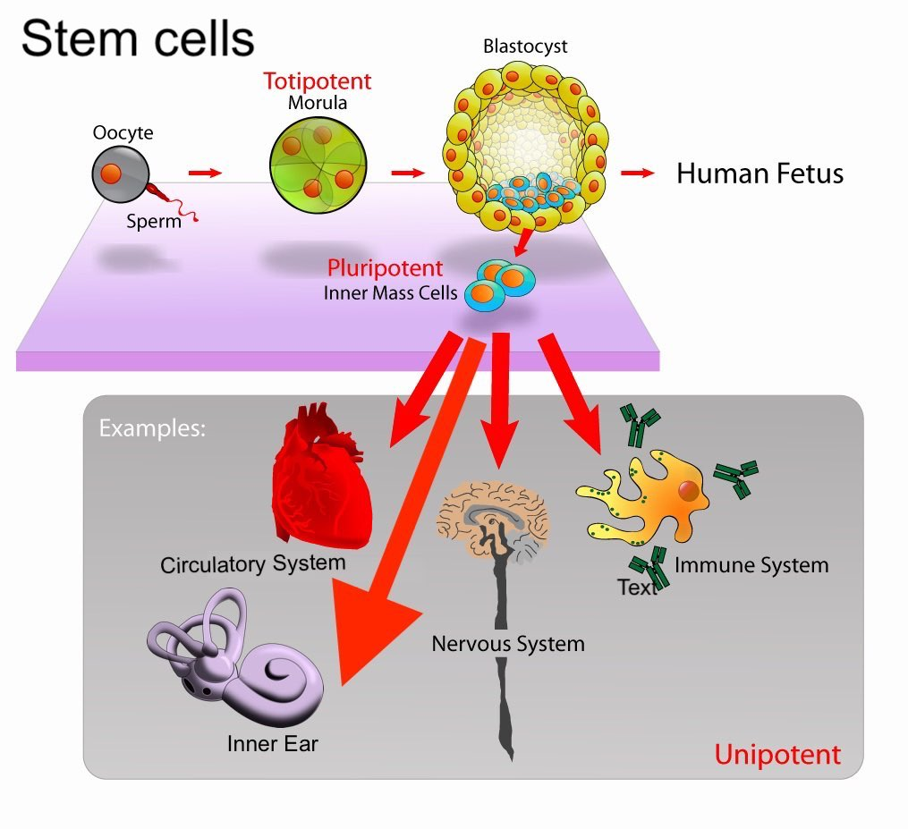 Stem Cell Theraphy For Treatment Of Hearing Vestibular Loss