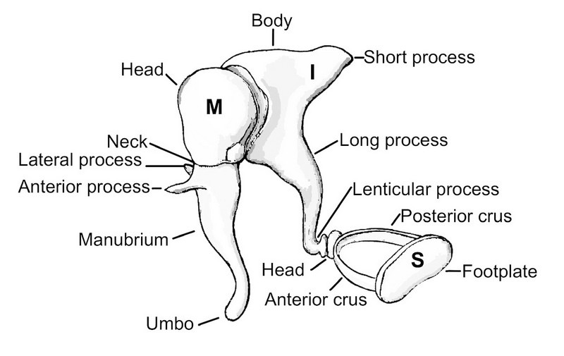 The three human ossicles namely the malleus (M), incus (I) and stapes(S).